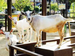 京都市動物園・ヤギ